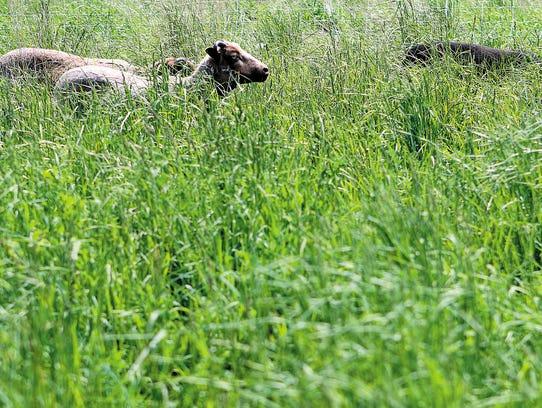 Three sheep graze in a field at Three Brothers Farm