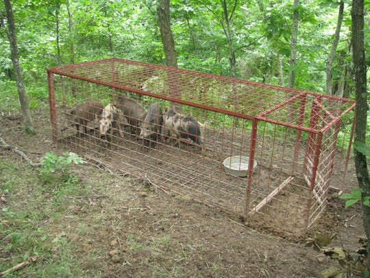 The U.S. Department of Agriculture (USDA) Animal and Plant Health Inspection Service (APHIS) Wildlife Services (WS) field specialists help to reduce feral swine damage by trapping, hunting, installing fencing/barriers, and modifying habitats.