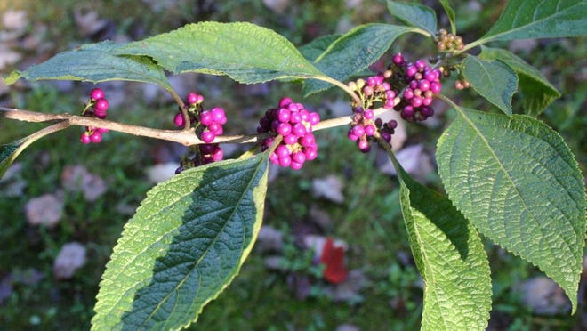 A chemical released by crushed leaves of American beautyberry shrubs repels mosquitoes. The purple berries provide food for birds.