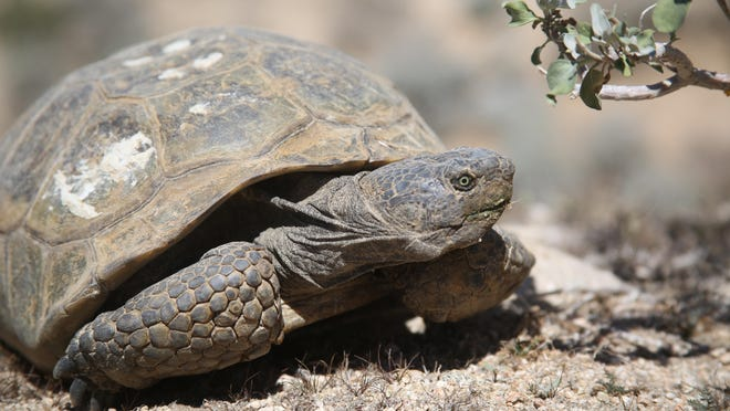 A desert tortoise in an area east of the Cabazon Indian Reservation. Habitat these tortoises count on will be some of the area which is bought by the Coachella Valley Conservation Commission for conservation purposes. (File photo)