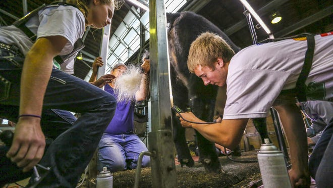 Sara Sullivan, left, works on shaping the tail for Dylan Kiepe, right, for his show animal in the Cattle Barn at the Iowa State Fair Tuesday.