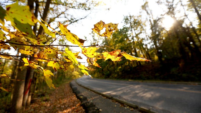 A maple tree changes colors along Lakeview Drive in Winton Woods Park in Springfield Township on Monday. Winton Woods is one of several parks of the Great Parks of Hamilton County to see fall color.