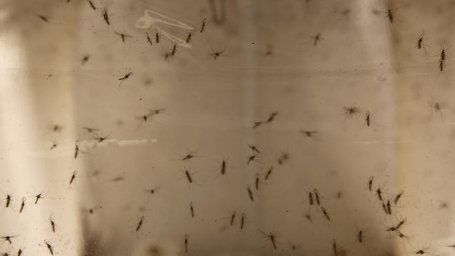In this May 4th, 2016 photo, Aedes Albopictus mosquitoes sit in a secured U.S Department of Agriculture lab in Manhattan, Kansas. The mosquitoes are part of the USDA's high school pilot program which relies on students to set mosquito traps that will help improve official mosquito maps. (AP Photo/Josh Replogle)