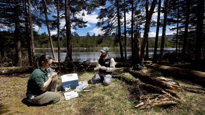 Wildlife biologists Evan Grant, right, and Adrianne Brand examine a salamander from Beebe Pond on May 18 in Sunderland. The team is one of many across the United State looking for signs of a fungus that kills the amphibian.
