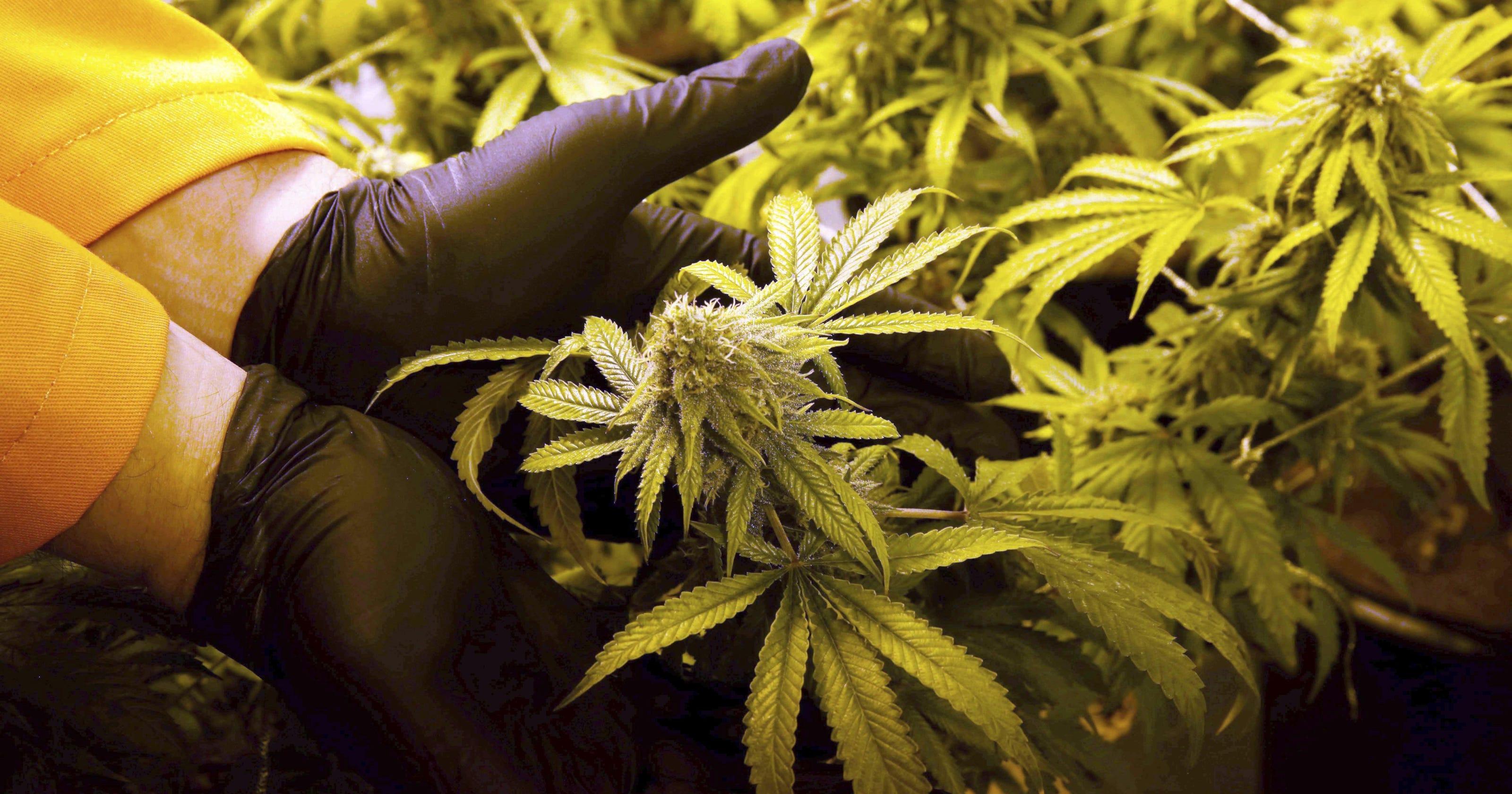 Florida medical marijuana: DeSantis could change approach to