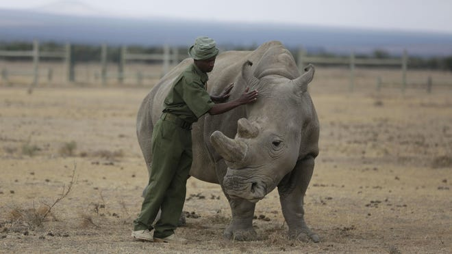 Shown is Fatu, one of only two female northern white rhinos left in the world.