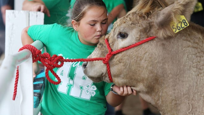 Emma Krieger, 12, Mediapolis a member of the Hilltop Helper 4-H club, spends time with Butter, her belted galloway cross, at the 2019 Des Moines County Fair in West Burlington.