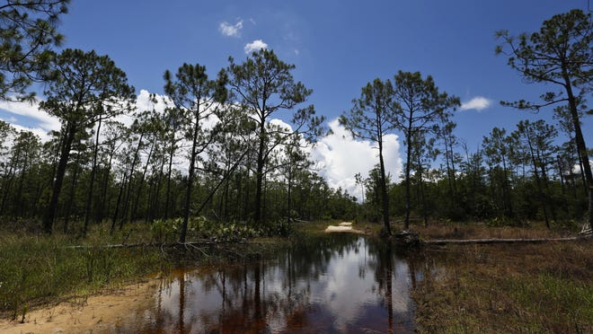 A puddle blocks a path that leads into the Panther Island Mitigation Bank, June 7, 2018, near Naples, Fla.