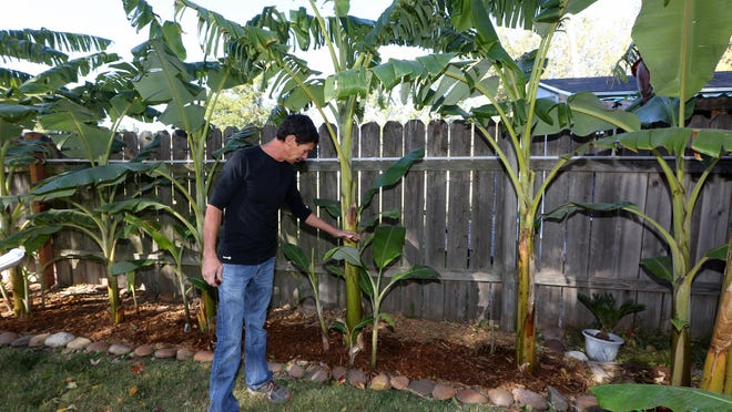 Chris Irsik talks about the banana plants lining the backyard that he and his and his wife, Teresa Starks, enjoy growing.