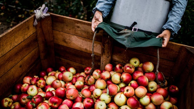 Here's a look at the different varieties of apples grown in Michigan and when they're harvested, so you know when to be on the lookout for them.  Orchard 100617 Ac 07