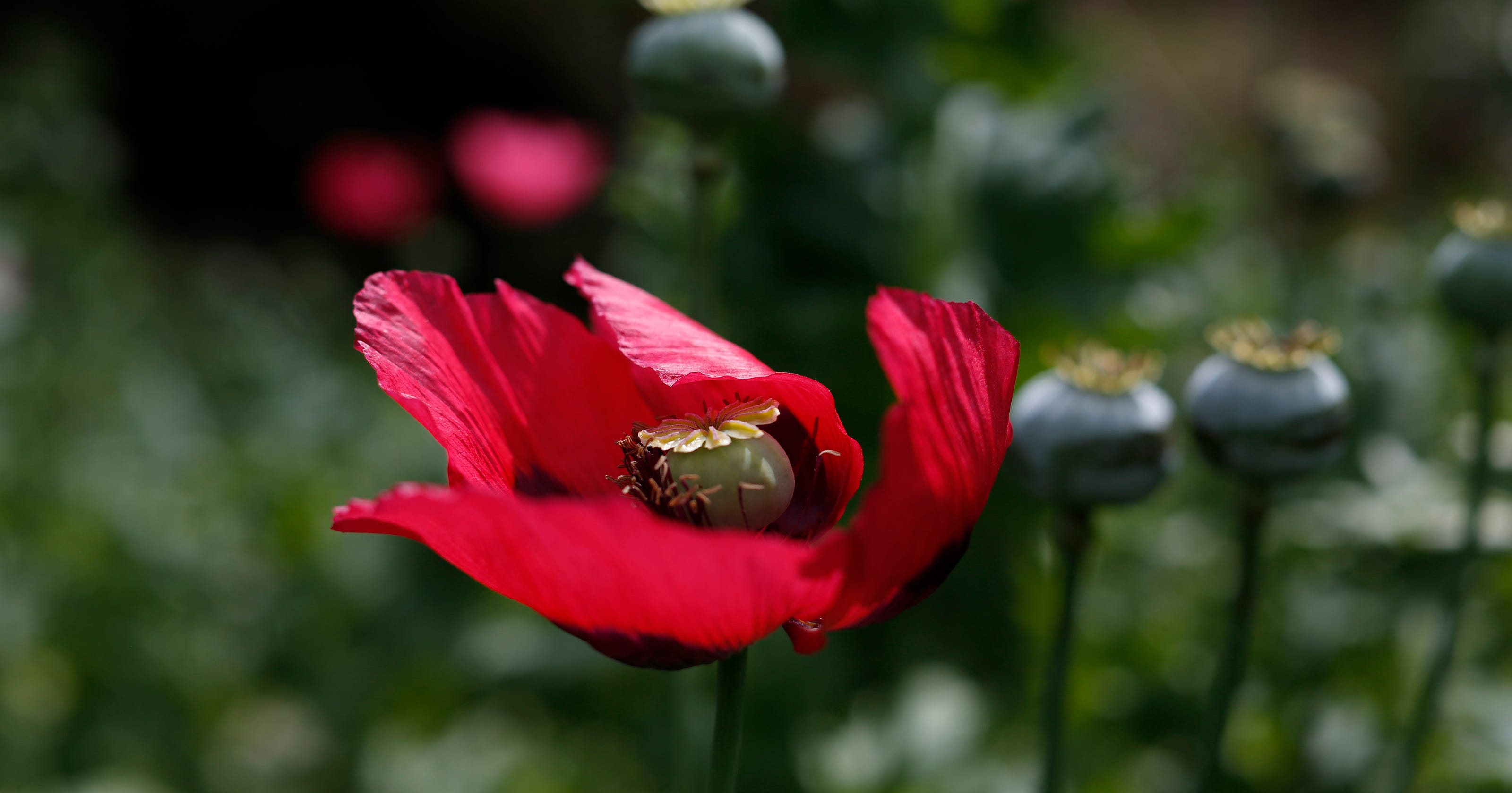 Mexican Opium Farmers Expand To Supply Us Heroin Boom
