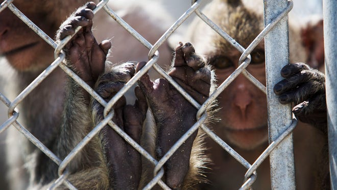 A pair of cynomolgus macaques peer from their enclosure at Primate Products in Hendry County. The facility houses more than a thousand macaques destined to be sold or consigned for biomedical research. The facility is frequently targeted by animal activists seeking to eliminate the industry.