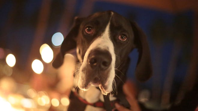 Great Dane Murphy's Law is seen at this month's Yappy Hour.