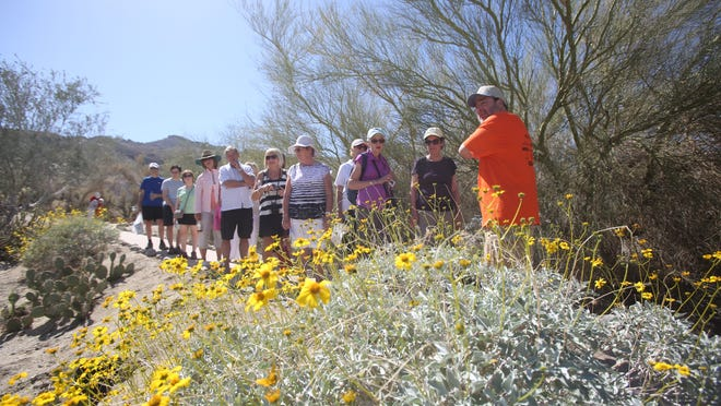 """Jess Rosenberg leads a """"nature walk"""" at the Coachella Valley Wildflower festival held at the Santa Rosa and San Jacinto National Monument Visitor Center in Palm Desert on March 7, 2015. In this photo a Brittlebush is seen on the walk."""