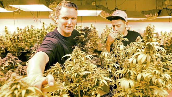 Brandon Schuyler, left, and Juan Hernandez groom plants at Organic Solutions of the Desert dispensary in Palm Springs in this 2014 file photo. The city is considering changes to its ordinance that would allow cultivation to occur off-site from the medical marijuana shops.