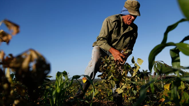 Farmer Diogenes Cheveco, 73, picks beans on unused government land that farmers are allowed to use to grow food and raise livestock on the outskirts of Havana on March 3.