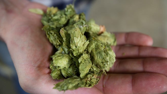 Co-owner Dean Howes shows off a handful of hops used in Vagabond's brews. The brewery will be conducting tours of their facility and answering questions from visiting brewers from the Craft Brewers Conference.