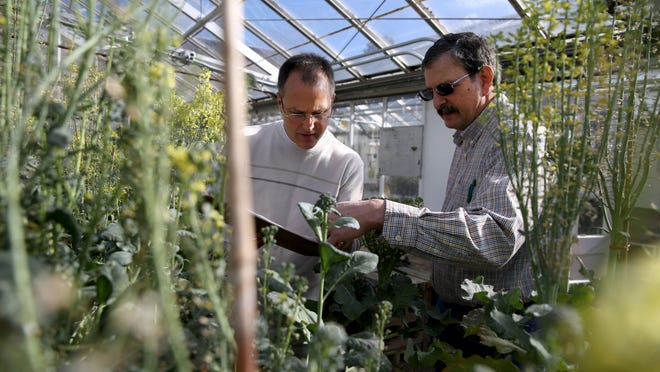 Professor Jim Myers (right), professor of Vegetable Breeding and Genetics at Oregon State University, talks with doctoral student Lyle Wallace while he cross pollinates broccoli plants at the school on April 6, 2015.