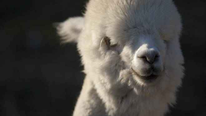 Alpacas will be on display at Montrose Alpaca Farm in Brownsburg.