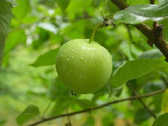"""The Spanish called the fruit of Florida's manchineel tree """"the little apple of death."""" Author Craig Pittman says that this is one of the many ways that """"Florida is trying to kill us."""""""