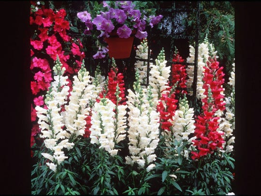 Snapdragons add rich perfume to the summer garden.