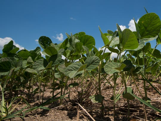 View of a field of soybeans at Baxter Farms in Georgetown.