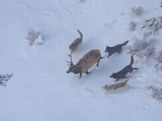 4142014_FEATURED_PHOTO1_WOLVES