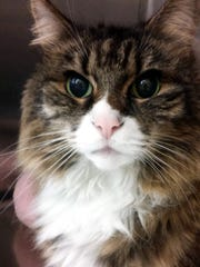 Mimi is a 10-year-old, spayed female main coon mix.