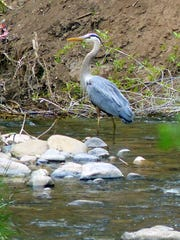 A Great Blue Heron samples the menu of aquatic life in the Rio Ruidoso.