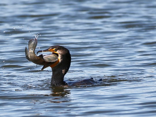 A double-crested cormorant attempts to swallow a large fish it caught in a water feature near the 10th tee at the Cadillac Championship golf tournament, Wednesday, March 2, 2016, in Doral, Fla. (AP Photo/Wilfredo Lee)