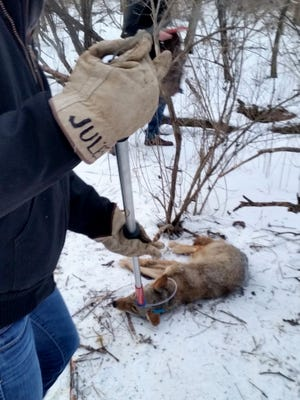 This male coyote was live-trapped, tagged and released in February 2016 in Wauwatosa and killed a year later at O'Hare International Airport in Chicago.