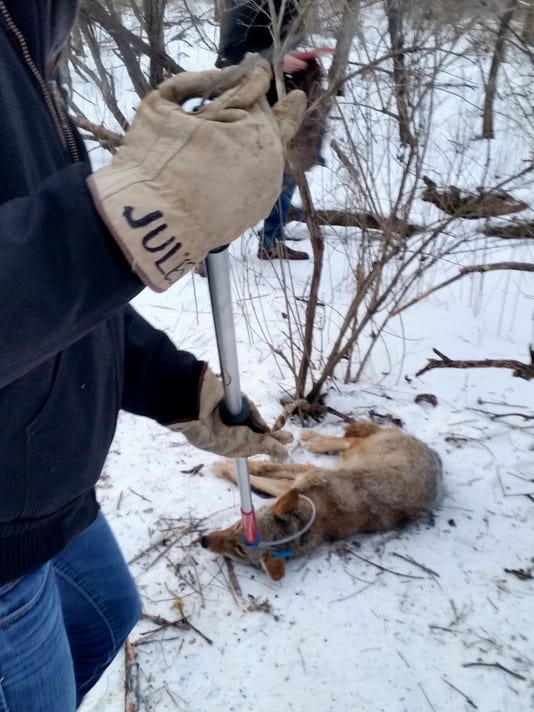 636348560050813918-Milwaukee-County-coyote-project-photo-by-Milwaukee-County-Parks-Department.jpg