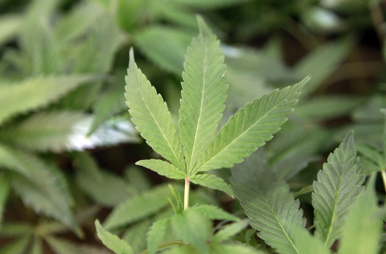 Marijuana Memory Loss
