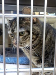 A cat is seen here at the York County SPCA in Manchester