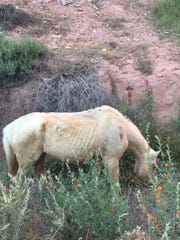 While hiking into Havasu Canyon to see the Havasupai waterfalls in April, Katie Migliavacca said she encountered underweight pack animals with open sores and their skin rubbed raw.