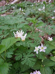 The wildflowers known as Dutchman's breeches can be