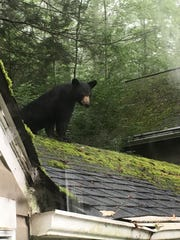 A black bear yearling gets a rooftop view while making itself at home on this house..