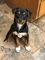 Mac is a male Aussie/heeler blend who is about 14 weeks