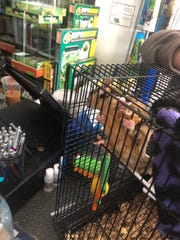 A sugar slider - a gliding possum - was rescued from a Jackson mall fire Sunday, April 29, 2018