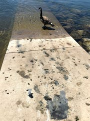 Goose poop stains the concrete at the Lake Redding boat ramp where the birds hang out along the Sacramento River.