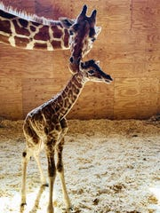 April the Giraffe with her new male calf on Saturday,