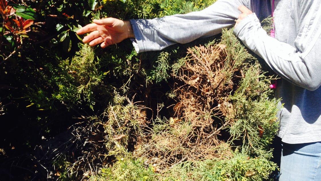 Master Gardener Junk The Junipers
