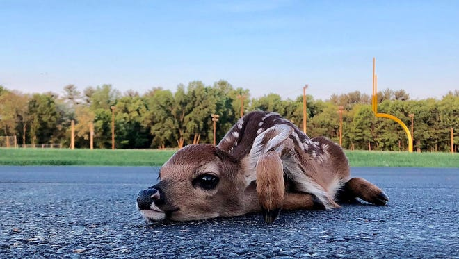 A white-tailed fawn flattens itself onto a schoolyard driveway in Waupaca to await its mother's return Tuesday morning.