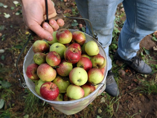 The annual apple harvest is an anticipated sign of