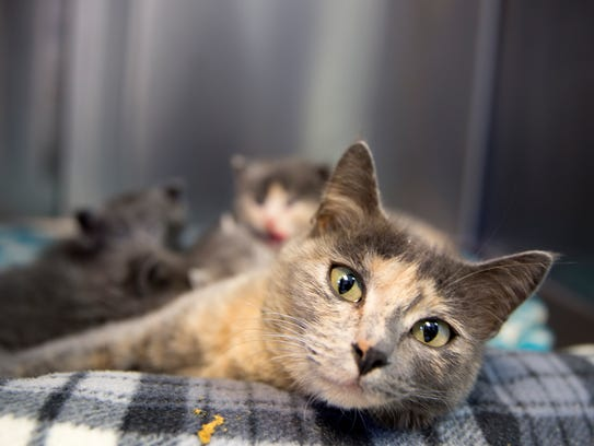 A cat nurses her kittens Wednesday at the Aztec Animal Shelter.