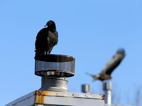 A vulture perched on a roof surveys the cat colony in Tinton Falls.