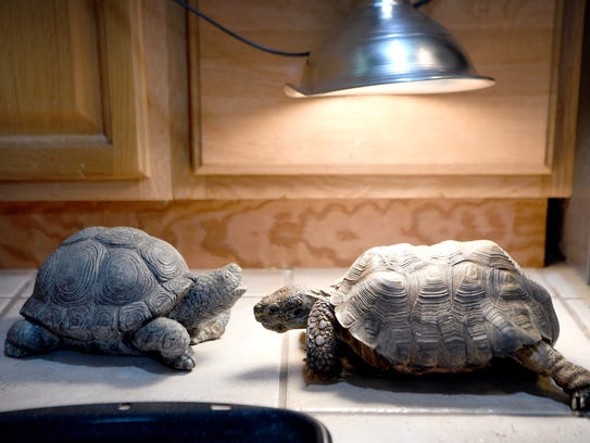 Tommy the tortoise looks over a statue turtle that