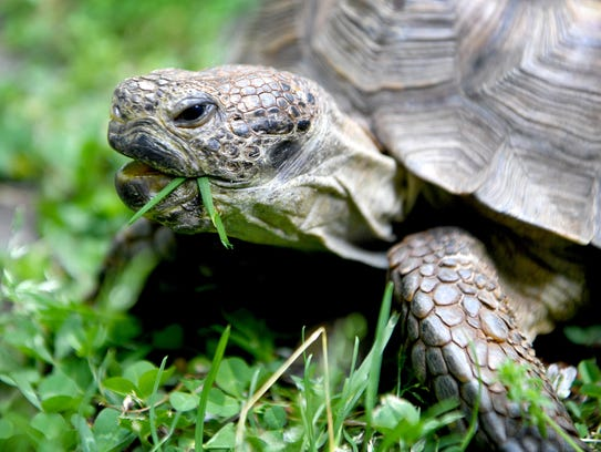 Tommy the tortoise munches on his first food of the