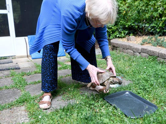 Judith Patience lifts her tortoise, Tommy, and places