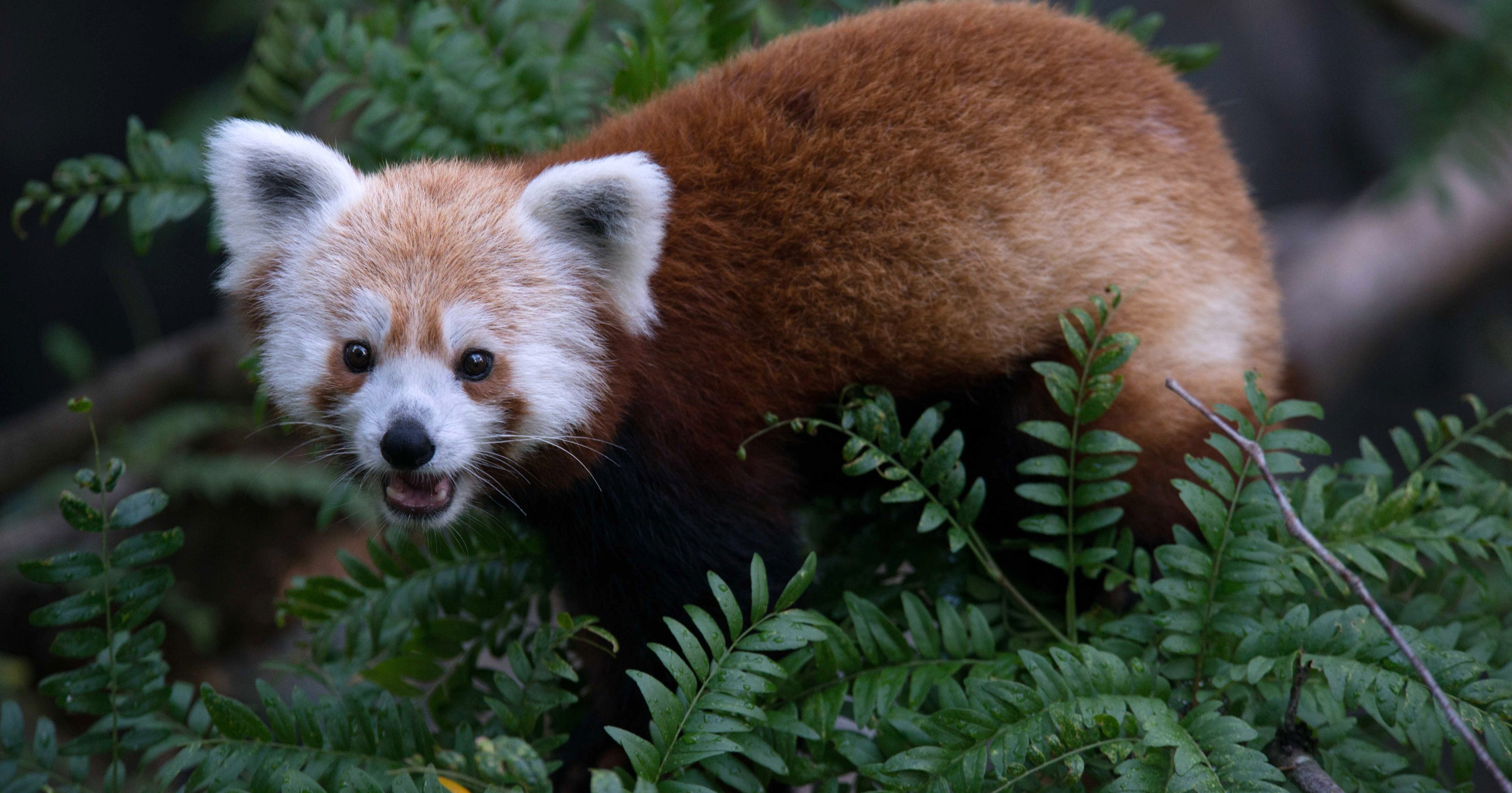 Red Panda Missing From Washington Zoo Is Found